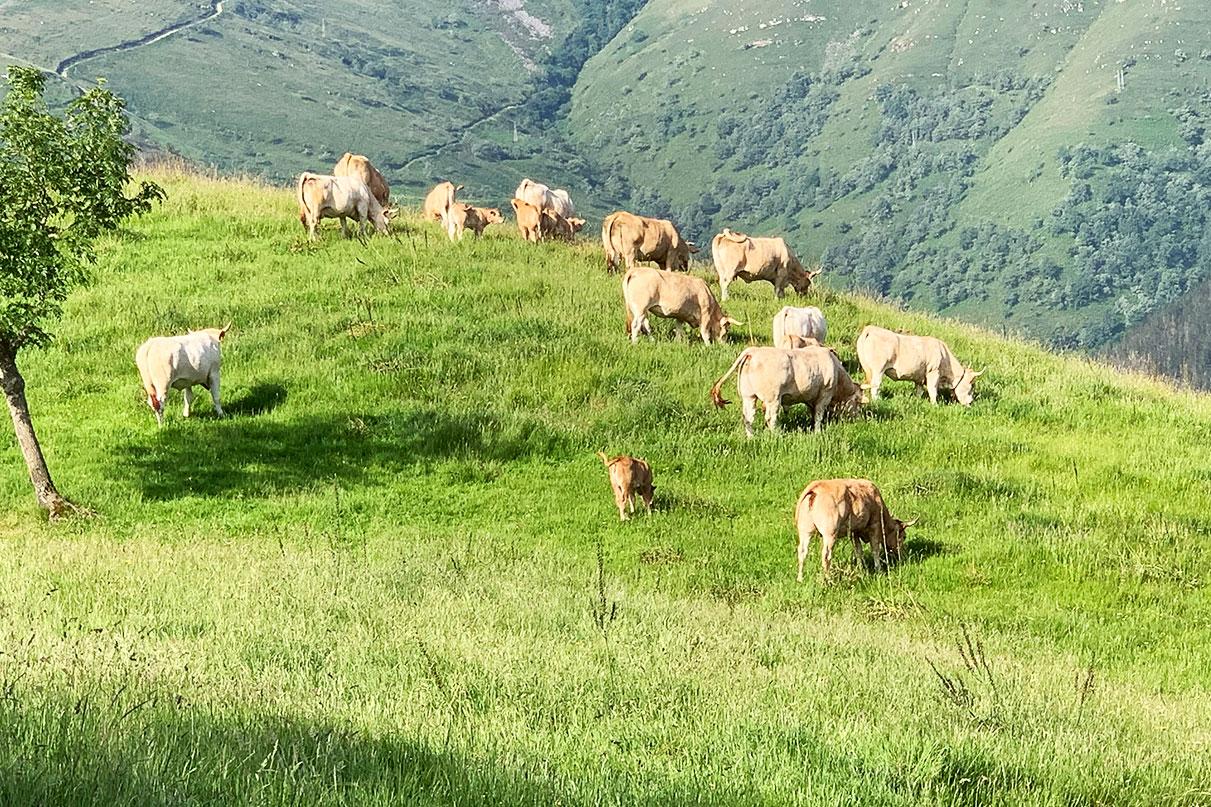 galeria-vaca-raza-pirenaica13