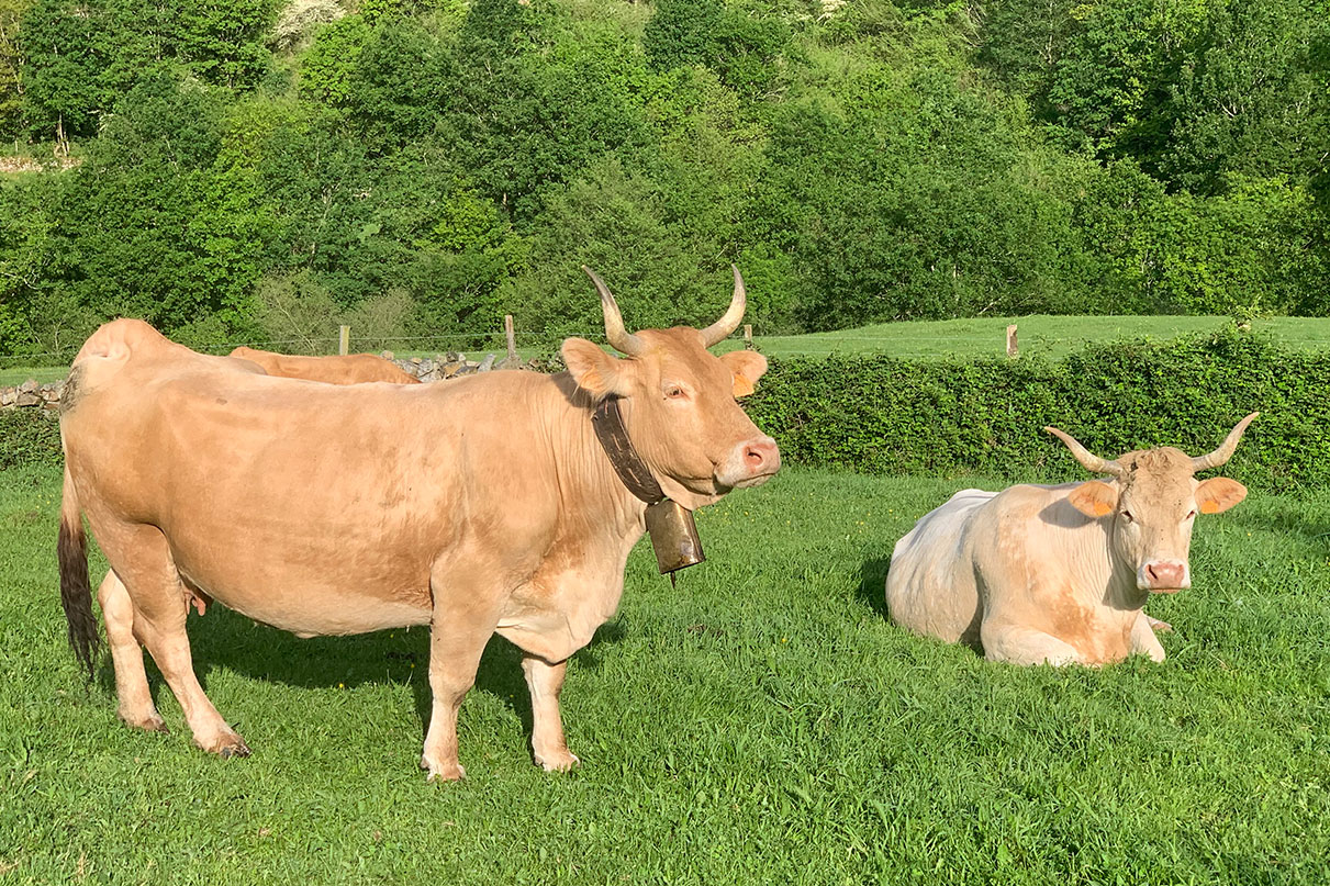 galeria-vaca-raza-pirenaica