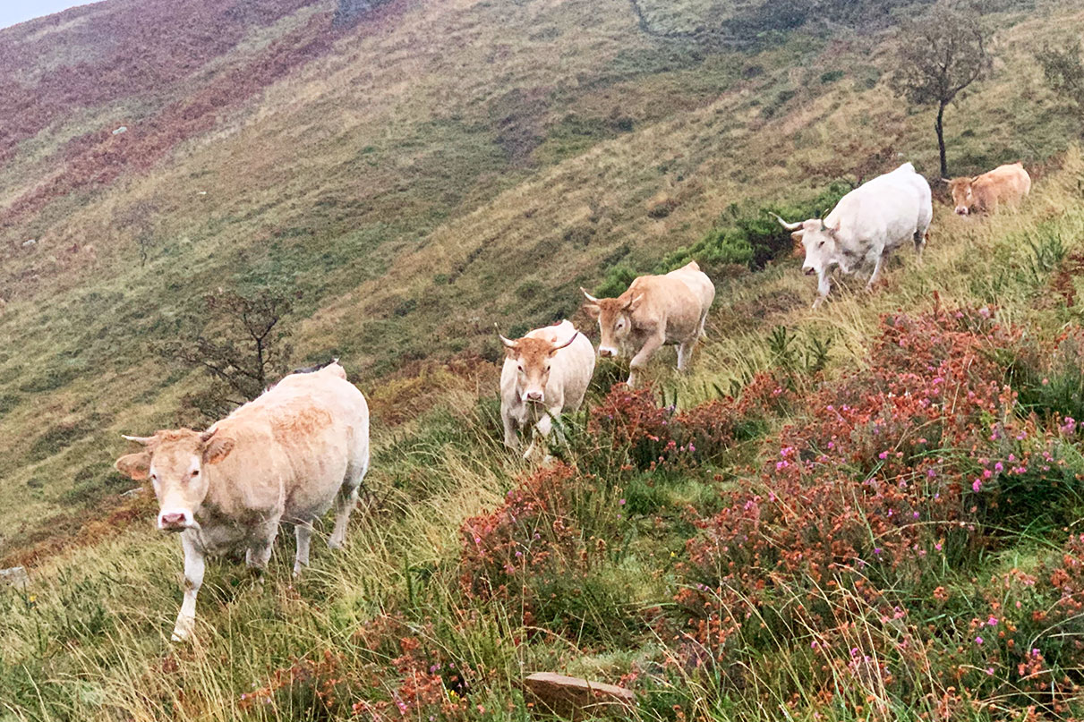 galeria-vaca-raza-pirenaica5
